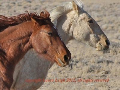 Nevada's wild horses 2012
