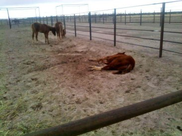 """Hope Springs Eternal,"" eight month old colt that died after his feet literally began to fall off after Calico roundup 2010"