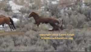 Foal falling after stumbling at ditch as other horses stampede through the jute, Owyhee Complex