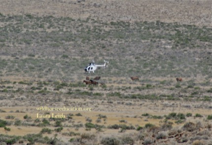 Cattle grazing (at the very moment) wild horses were removed during a purported drought in June at Jackson Mountain
