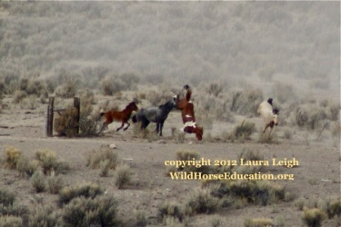"Horse flipping over barbed wire at the Owyhee Complex roundup. How can anyone think this is ""ok?"""