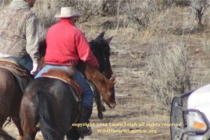 Exhausted foal carried limp back to the trap by wrangler. Later the foal had to be carried off the trailer.