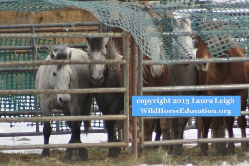 The wind blew and the snow fence rose to reveal for a few moments horses at temporary after capture. If the wind had not blown the condition of the wild horses would not have been documented that day.