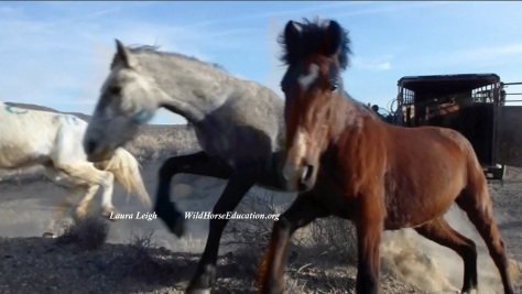 "Our wild horses must remain on the landscape to be ""integral to it."" Release at Stone Cabin."