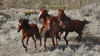 Lathered animals chaotically enter the trap. BLM has no humane handling policy