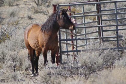 Looking in at horses already captured at BLM bait trap operation at Deer Run
