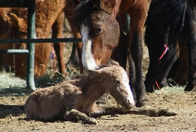 Foal born in facility days after the Antelope Complex Roundup dies in facility. copyright Laura Leigh