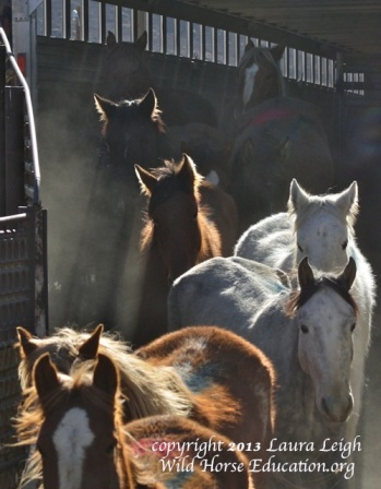 Battle Mountain wild horses arriving at Palomino Valley Center