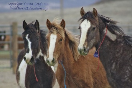 "Newly freezemarked ""yearlings"" at Palomino Valley await adoption or shipping to other facilities."