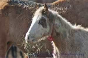 A newly freezrmarked colt from Calico 2012 that will be hard to read