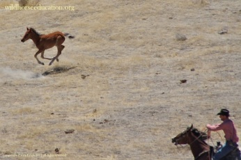 "Jackson Mountain 2012, newborns run in JUNE! during BLM's own prohibited ""foaling season"""