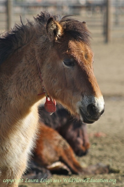 Wild horse yearling removed from Northern Nevada in 2012