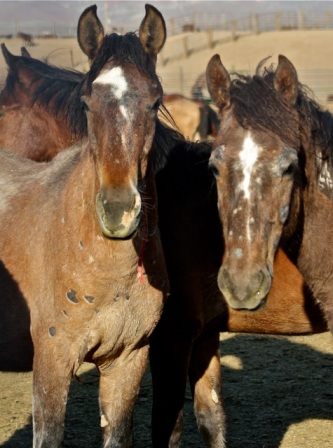 Infected yearling geldings