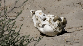 Horse skull photographed at Litchfield during Twin Peaks of 2010) note: you would think whomever removed the carcass would have noticed they were missing something?