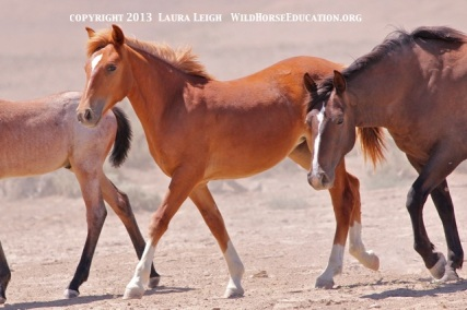 Young filly heads to water  , Snowstorm (Owyhee) still on the range and needing our help