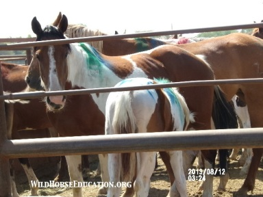 Wild horses awaiting sale at Sundays auction