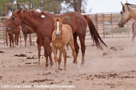 McDermitt Reservation horses at the Fallon livestock auction. This baby is one of our rescues.