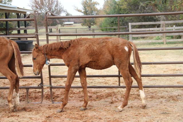 """Included in Declaration presented to court """"The foal with the two hind socks was very lethargic the day we were there and even fell from weakness. It was so weak in fact when it fell, Mr. Palmer reached down and picked it up by its tail. A wild horse would not let a human get that close to it unless it didn't have the strength to flee. The foal with the white patch on it had to be euthanized. It had a swollen front right when we got it. We gave it several weeks of treatment hoping to save it but after having it x-rayed, it had already developed into ring bone."""""""