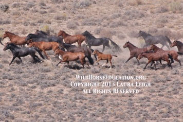 Sheldon USFWS roundup, we are in active litigation to protect them from slaughter