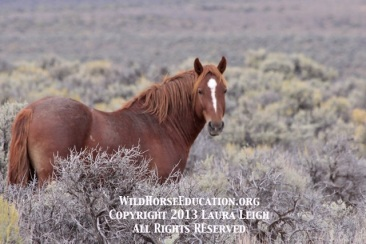 Photo taken on the Sheldon Refuge during the roundup. Where will he end up?