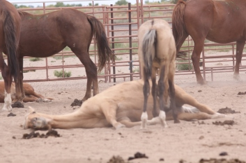 McDermitt foal nursing on exhausted mare at the livestock auction after roundup, transport and sorting