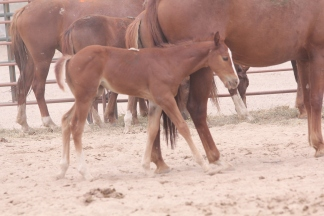 McDermitt Pauite foal at the livestock Auction