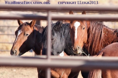 Sheldon horses awaiting shipment from Virgin Valley holding corrals in 2013