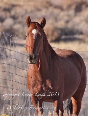 """Rosie,"" a Sheldon mare removed from the range in 2013 back among the sagebrush of Nevada."