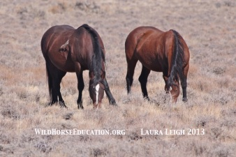 Wild Fish Creek stallion and mare at Sheldon NWR