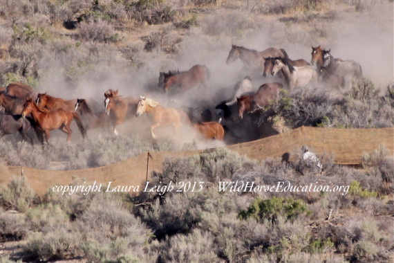 Blue Wing Wild Horse Roundup by BLM