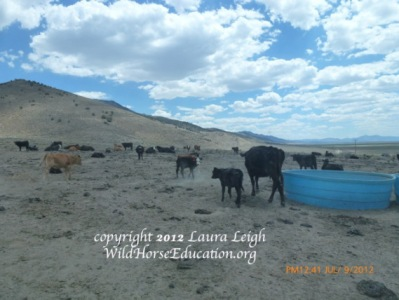 Water haul for cattle during drought in overgrazed area of Nevada