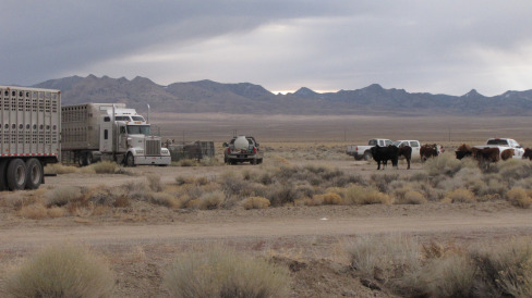 Cattle watching as wild horses are loaded for shipment to holding facilities