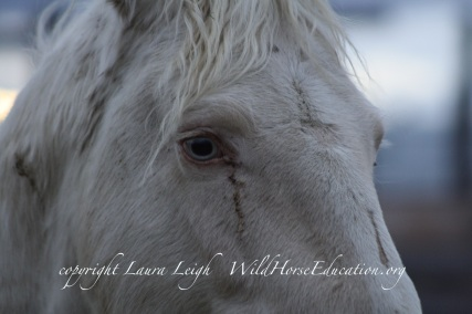 """Stallion """"Silver King"""" moments after steeping off a trailer on his way to """"rescue"""""""