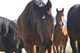 "Owyhee stallion designated for ""sale authority"" and shipped to other facilities and places unknown"