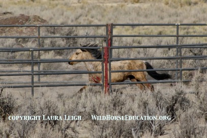 "Young buckskin came in injured at ""barbed wire"" incident trapsite"