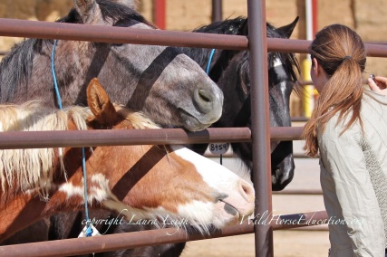 "9646, 9992 (both Owyhee) and 8459 (Jackson Mountain) facebook ""chatting"" from the Internet adoption gelding pen at PVC"