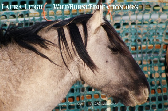 Utah Sulpher stallion in BLM holding after capture