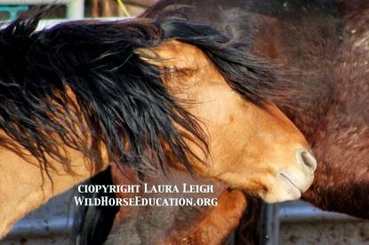 Utah wild stallion after capture in 2012
