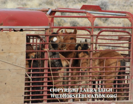 Sulphur Springs youngsters removed by BLM during the last roundup