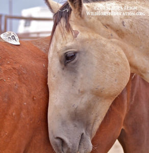 One of the McDermitt Reservation horses at the slaughter auction. A sovereign nation, like tribal authorities, have no business being involved in managing a federally protected resource when they can not even take care of their own.