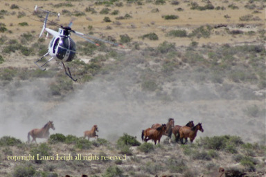 """Jackson Mountain where BLM chose to run newborn foals in July while cows grazed on the range, claiming """"drought emergency"""""""