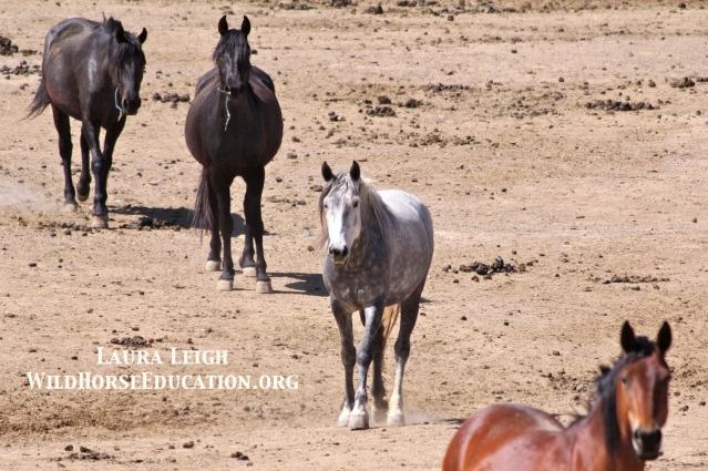 #9075, bonded to #9695, on BLM Internet Adoption Palomino Valley