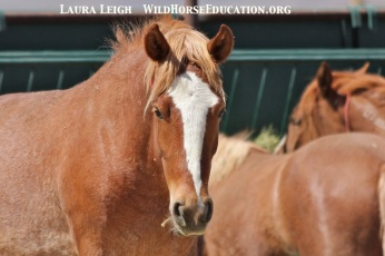 This LOVELY filly is on the BLM Internet Adoption page at Palomino Valley, 9075. She has spent most of her life at that facility after being captured in 2012 from Antelope Valley as a baby.