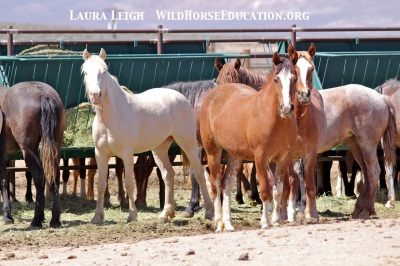 BLM fillies on the Internet adoption. The two on the right are very bonded and very friendly. Touched both of them today.