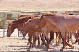 Humbolt wild horses removed in 2014 in holding at PVC