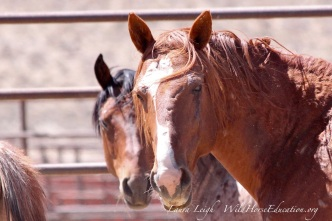 Captive stallion after last day of Humbolt roundup 2014