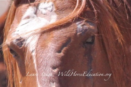 Injure stallion removed from Humbolt NV in 2014