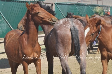 Weanlings and yearlings (recently weaned and just gelded) available for adoption at PVC