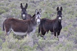 Three of the last of the free Sheldon burros