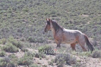 Stallion at risk this year of loosing his family and freedom forever